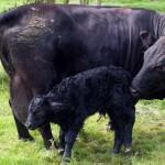 Babi with calf Eban