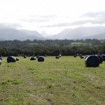 Big Bales of silage just after being wrapped