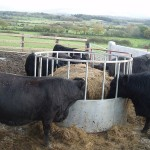 Welsh Blacks on the new hard standing