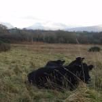Cows at Ty'n Coed