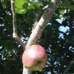 The Highest Apple at Tyddyn Adda