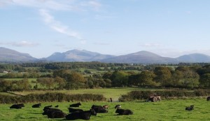 Our herd of Welsh Black Cattle