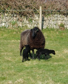 Two new black lambs