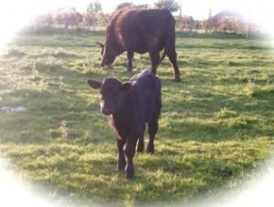 A new born calf at Tyddyn Adda