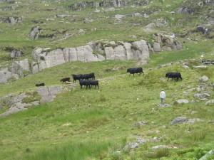 The Welsh Blacks at Blaen y Nant, Dyffryn Ogwen