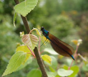 The Beautiful Demoiselle Damselfly