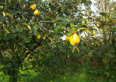 Quince Tree with Quinces
